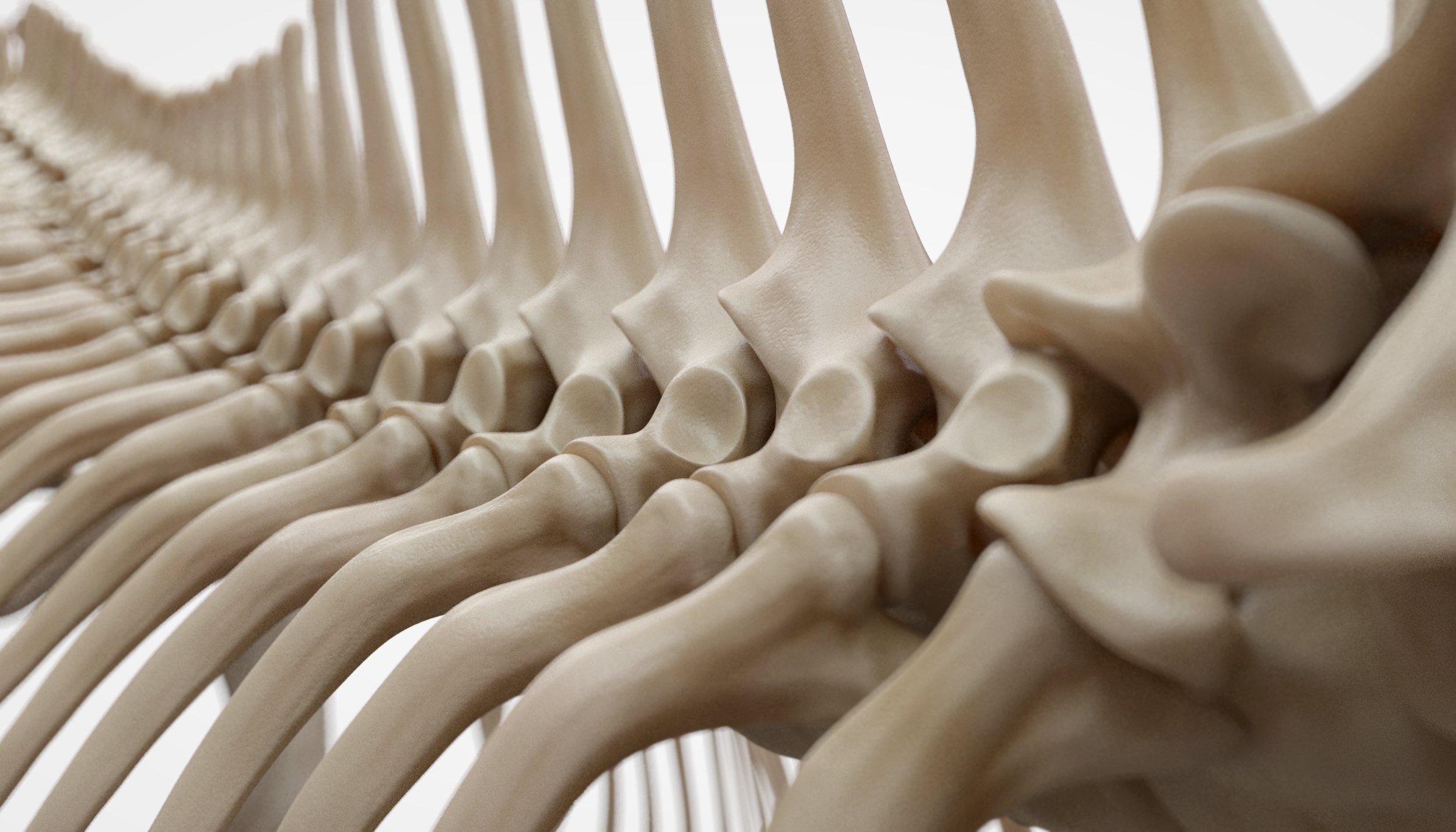 3D Horse Skeleton Model
