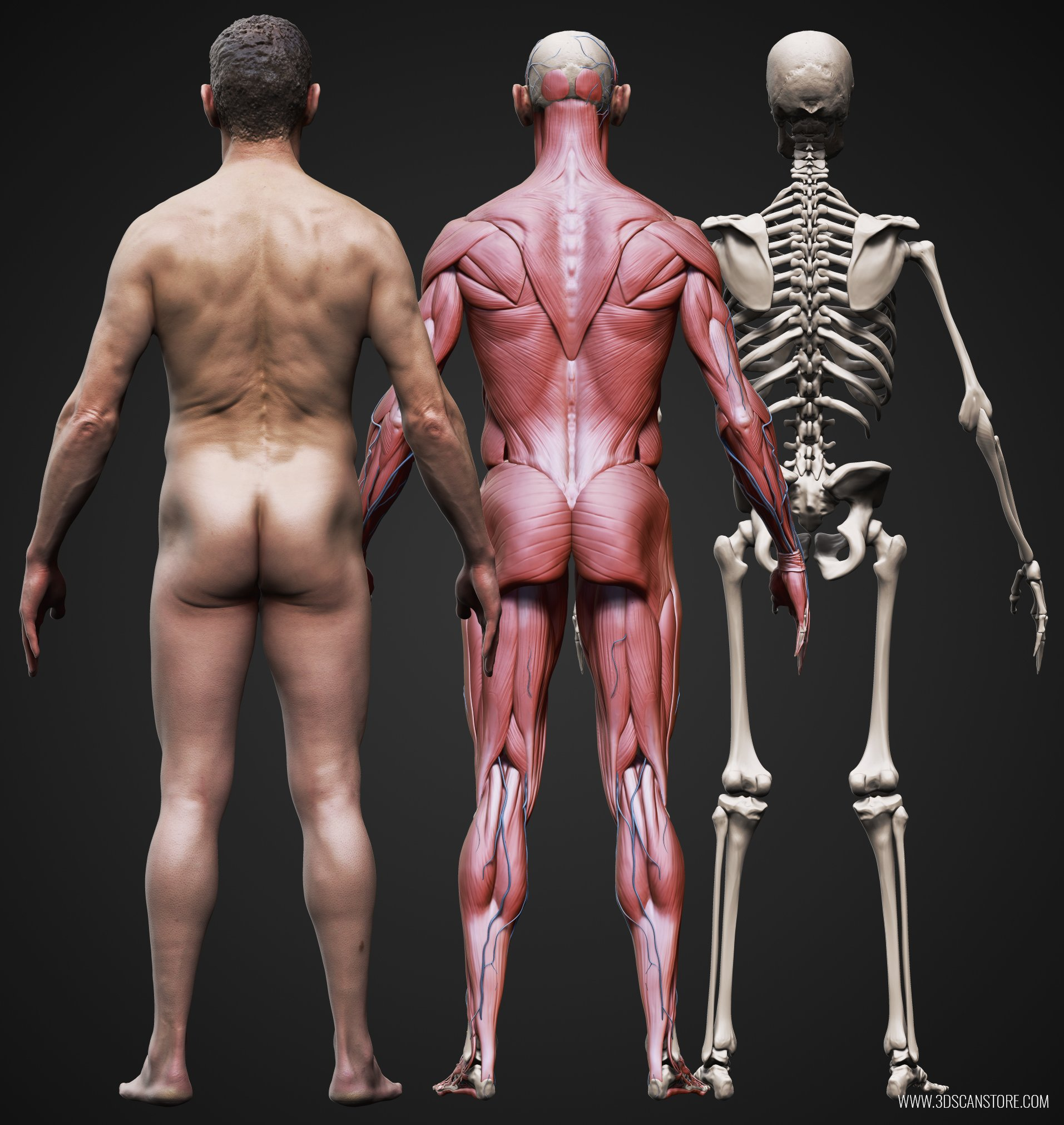 Male And Female Ecorche Update Muscles In The Body Diagram Tag Full Of Human Tags Models Zbrush 3d Scan Anatomy Reference Sculpting
