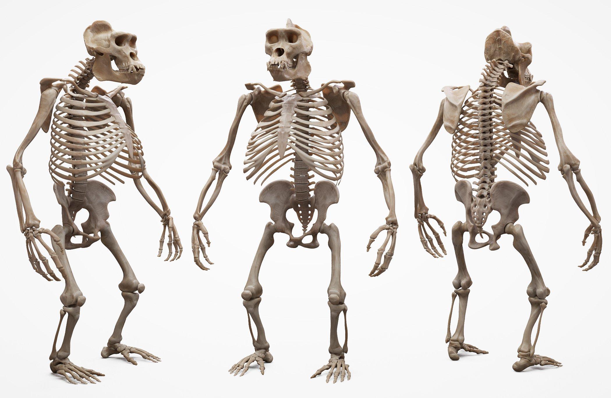 3D Gorilla Skeleton download