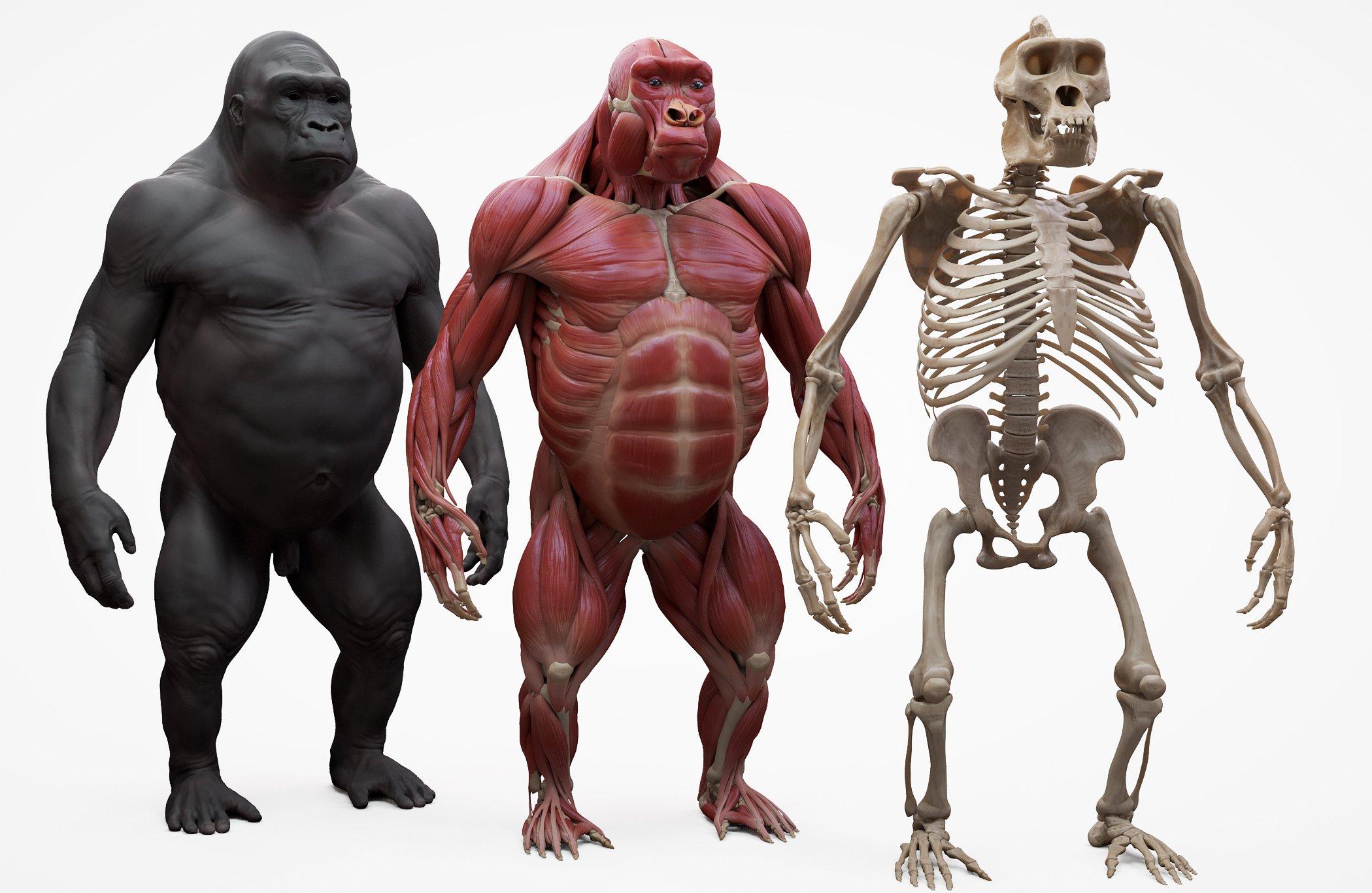 Gorilla 3D muscles