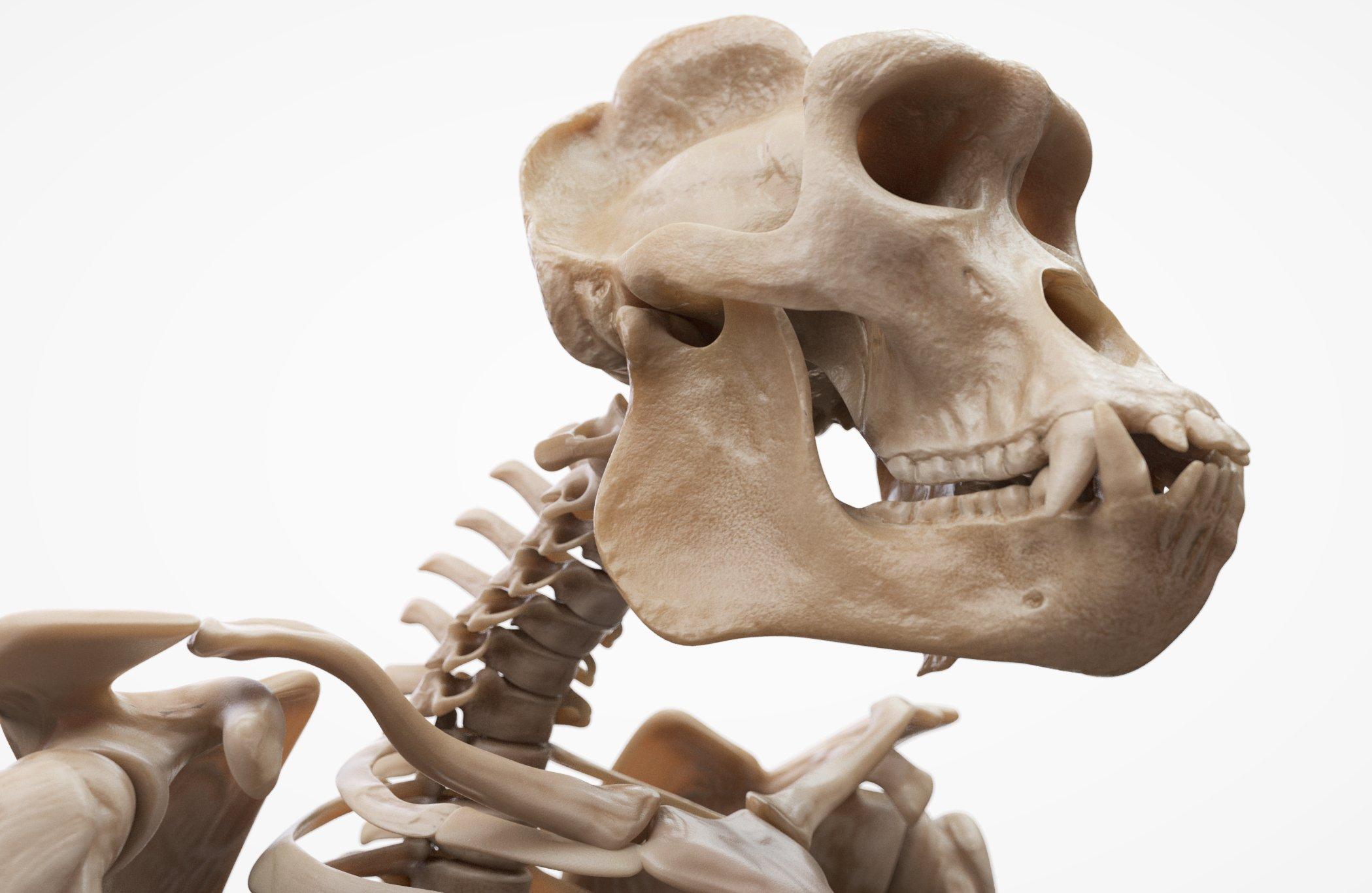 Download Gorilla 3D Skull